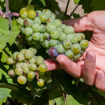 Wine regions in Greece